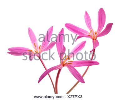 Three pink colchicum flowers on white background - Stock Photo