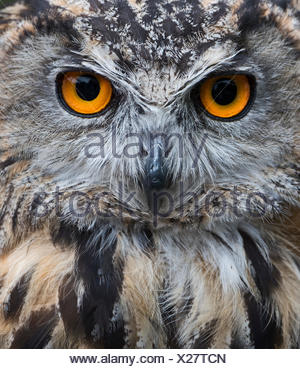 Eurasian Eagle Owl Bubo bubo (captive) UK - Stock Photo