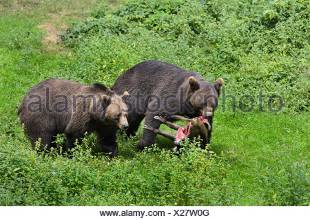 brown bear (Ursus arctos), two individuals with caught wild sow - Stock Photo