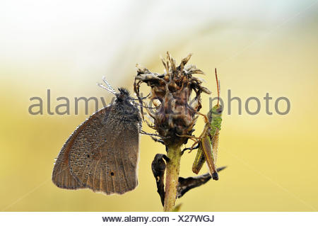 meadow brown - Stock Photo
