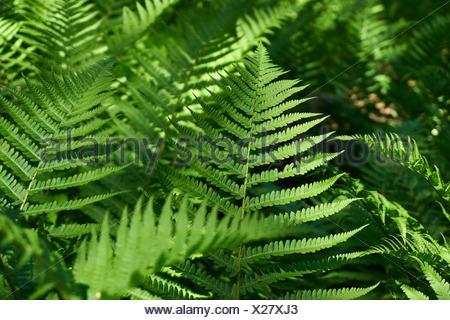 Farn im Wald - Stock Photo