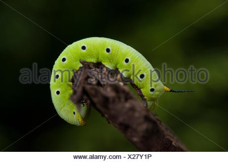 Green caterpillar of a clearwing moth on a twig. - Stock Photo