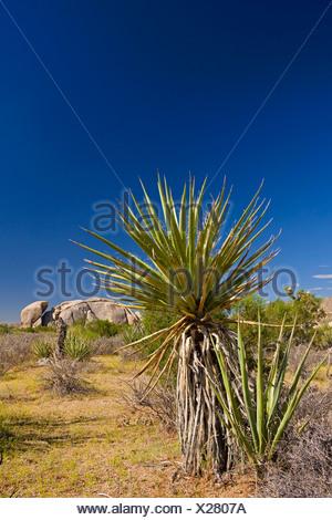 Mohave Yucca (Yucca schidigera), ub bushland, granite rocks in the background, USA, California, Mojave, Joshua Tree National Park - Stock Photo
