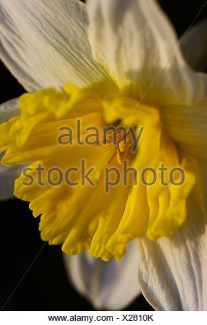easter spring season daffodil flourished bulb flower narcissus yellow gelbe - Stock Photo