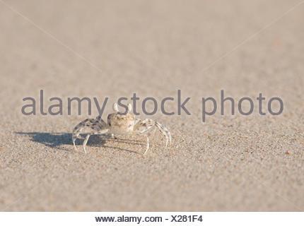 A small crab on a beach at Vansittart Bay. - Stock Photo
