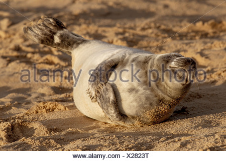 UK England Grey Seal Halichoerus grypus pup - Stock Photo