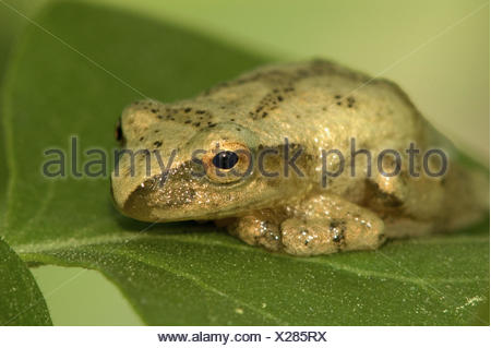 Spring peeper (Hyla crucifer) resting in lilac bush. Lively, ON, Canada - Stock Photo