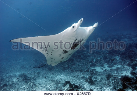 Giant manta ray swimming in coral - Stock Photo