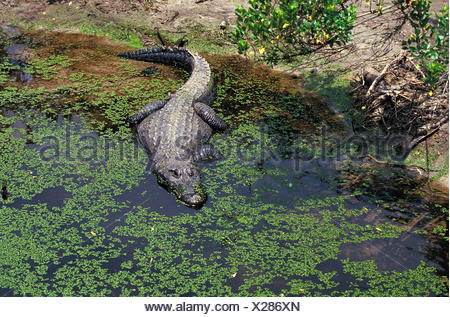 American Alligator, alligator mississipiensis, Adult entering Swamp - Stock Photo