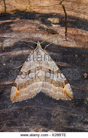 Treble-bar, St. John's Wort Inchworm (Aplocera spec., Anaitis spec., Aplocera plagiata oder Aplocera efformata), on bark, Germany - Stock Photo