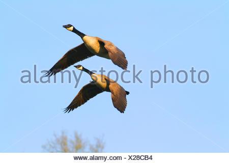 Canada goose (Branta canadensis), two flying Canada geese, Germany, North Rhine-Westphalia - Stock Photo