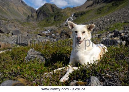 Alaskan Husky, Langfjordbotn, Finnmark, Norway, Europe - Stock Photo