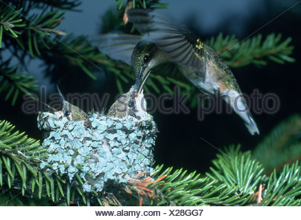 A female Ruby Throated Hummingbird hovers over her nest as she feeds one of her two chicks - Stock Photo