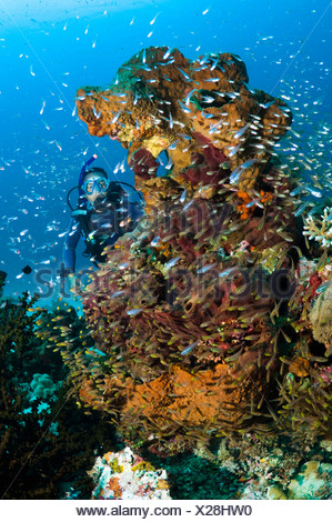Male scuba diver watching a school of sweepers and cardinalfish on coral reef, Komodo National Park, Indonesia. - Stock Photo