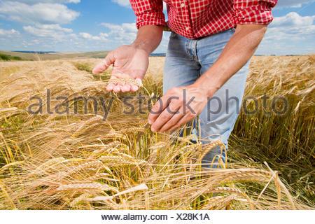 Close up farmer examining sunny rural barley crop field in summer - Stock Photo