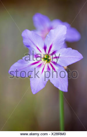 Leucocoryne purpurea - Stock Photo