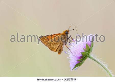 Large Skipper Butterfly (Ochlodes venatus), Bavaria, Germany - Stock Photo