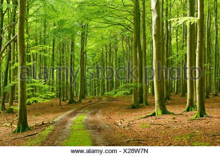Footpath through near-natural beech forest, Stubnitz, National Park Jasmund, island Rügen, Mecklenburg-West Pomerania, Germany - Stock Photo