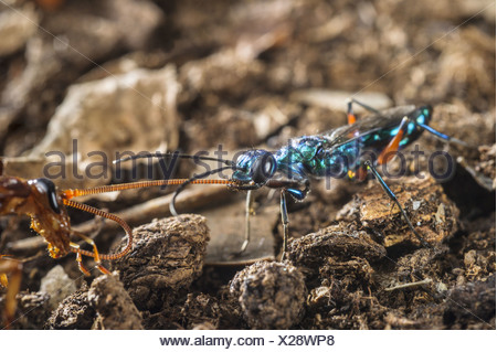 Emerald Cockroach Wasp Ampulex compressa adult female leading American Cockroach Periplaneta americana 'zombie' by antenna - Stock Photo