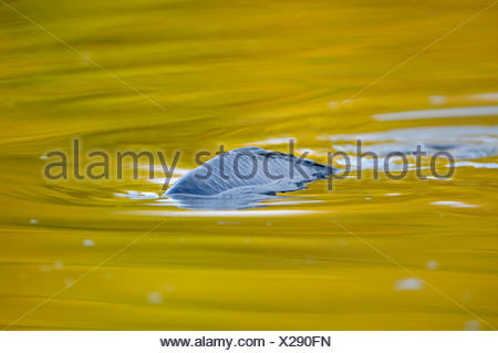 carp, common carp, European carp (Cyprinus carpio), carp on the surface of the water, Germany, North Rhine-Westphalia - Stock Photo