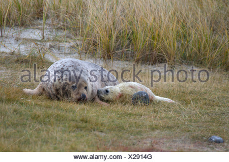 gray seal (Halichoerus grypus), female with new born, there is still blood on the young which is only a few minutes old, German - Stock Photo