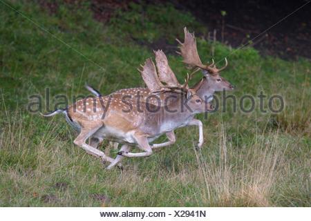 Fallow deer (Dama dama), bucks fleeing, Zealand, Denmark - Stock Photo