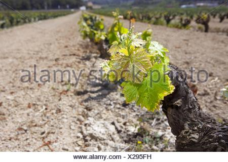 vineyard first spring sprouts in row field in Spain - Stock Photo