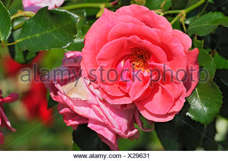 Roses (Rosa) in the Court Garden, Dachau, Bavaria - Stock Photo
