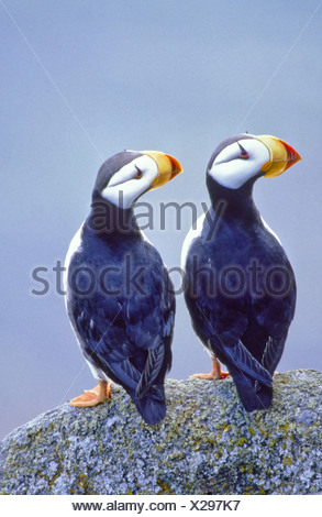 Alaska. Two Horned puffins (Fratercula corniculata) perched on rocky cliff. - Stock Photo