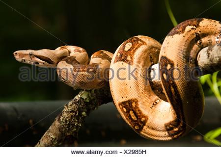 Boa Constrictor clinging on stick, Pennsylvania, USA - Stock Photo