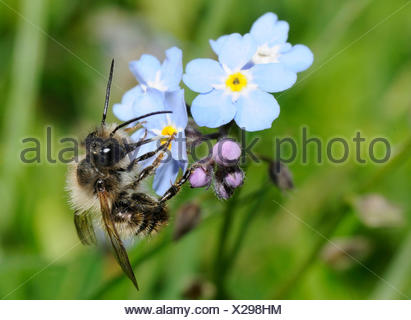 Red Mason Bee on Myosotis flowers - Northern Vosges France - Stock Photo