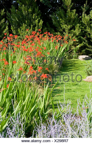 bed of crocosmia growing by a garden lawn - Stock Photo