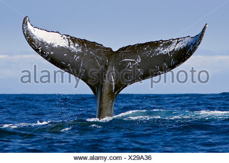Humpback Whale Lobtailing or Tail Slapping - Stock Photo