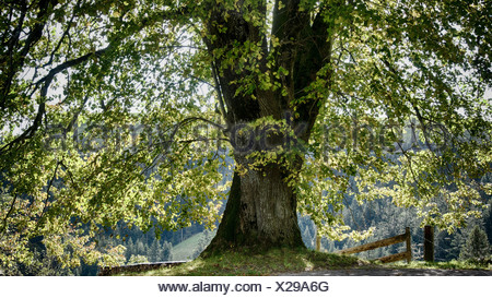 Tree, Emmental, canton Bern, Bern, Langnau, foliage, foliage tree, lime-tree, Lüderenalp, Switzerland, Europe, summer foliage, l - Stock Photo
