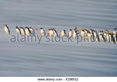 Gentoo Penguins (Pygoscelis papua papua) marching in line, Falkland Islands - Stock Photo