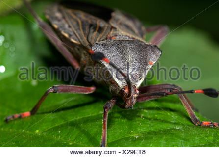 Assassin Bug Family Reduviidae on leaf Costa Rica - Stock Photo