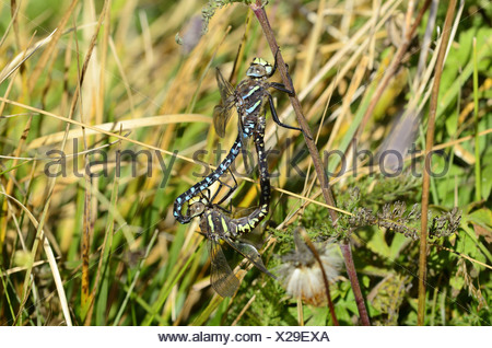 Common Hawker, Aeshna juncea, male, female, mating, dragonfly, insect, animal, Alp Curtginatsch, Wergenstein, Canton, Grisons, S - Stock Photo