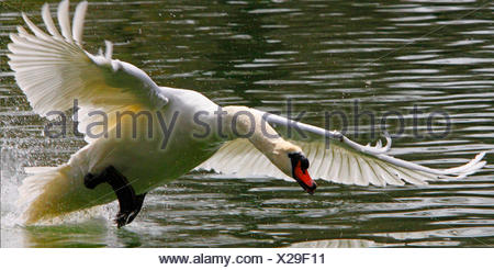 mute swan (Cygnus olor), running on water surface and attacks, Germany - Stock Photo