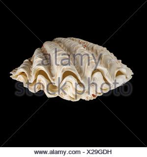 Fluted giant clam shell - Stock Photo