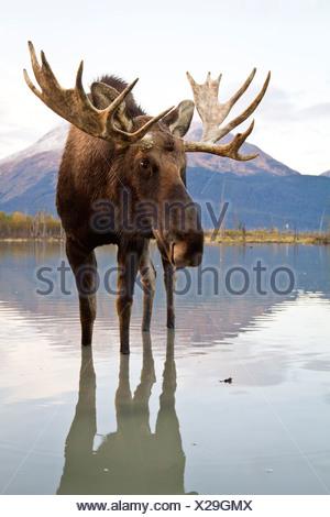 CAPTIVE: Bull moose walks thru high-tide water, Alaska Wildlife Conservation Center, Southcentral Alaska, Autumn - Stock Photo