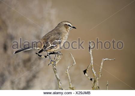 chalk-browed mockingbird - Stock Photo