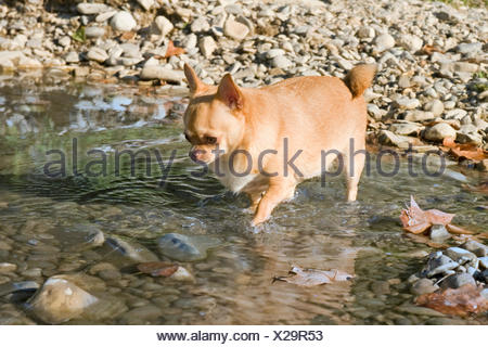 dog, thick, wide, fat, obesity, river, water, walk, go, going, walking, - Stock Photo