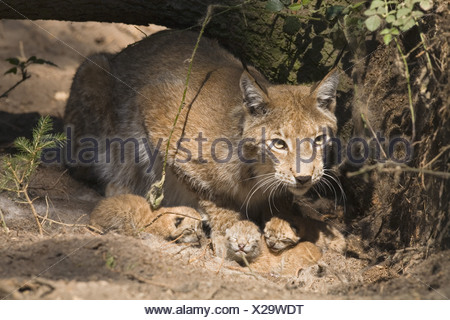 Lynx with younglings - Stock Photo