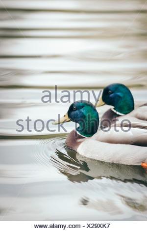 Ducks, two drakes swim on a pond, - Stock Photo