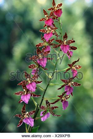 Odontoglossum hybrid (Odontoglossum-Hybride), inflorescence - Stock Photo