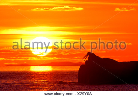 Alaska. Round Island. Hauled out walrus (Odobenus rosmarus) bulls silhouetted against setting sun. - Stock Photo
