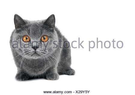 British Shorthair cat isolated - Stock Photo