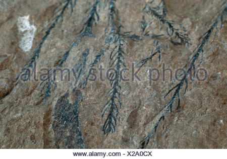 Araucaria sternbergii, fossil conifer, Eocene, Tyrol, Austria, Tyrol - Stock Photo