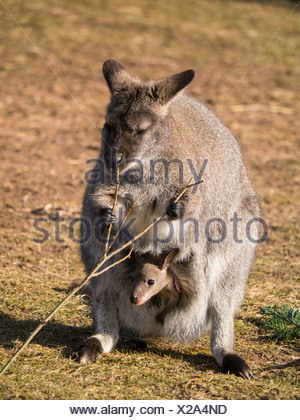 Red-necked Wallaby or Bennett's Wallaby (Macropus rufogriseus), Erfurt Zoo, Thuringia, Germany, Europe