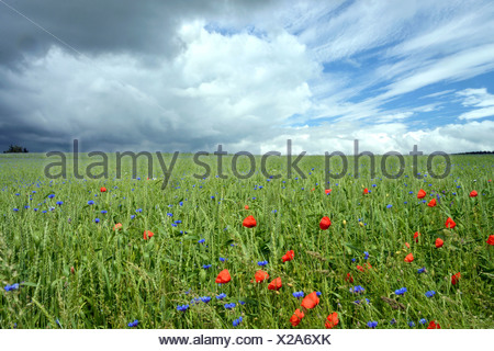 Corn field with Corn Poppies (Papaver rhoeas) and Cornflowers (Centaurea cyanus), cloudy sky with clear and stormy patches - Stock Photo